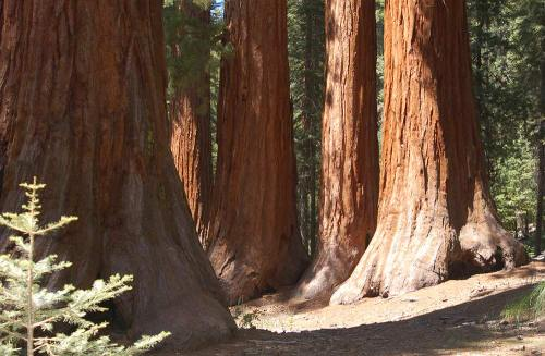 These Sequoias trunks are bigger then my dick and that is a feat in itself.