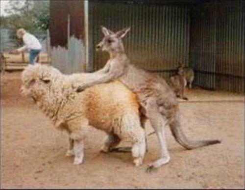 AussieSheepRoot