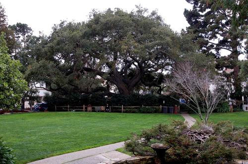 Large fig tree in Carmel.